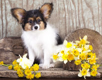 Butterfly dog, papillon puppies Stock Image