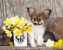Butterfly dog, papillon puppies Royalty Free Stock Photo