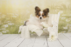 Butterfly dog puppy sitting on a doll bench with a flower background. Cute butterfly dog puppy sitting on a doll bench with a flower background royalty free stock images