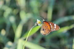 Butterfly. The butterfly  is doing susk pollen flower grass Royalty Free Stock Photo