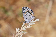 Butterfly With Dots. Beautiful Butterfly With Dots On The Field stock photo