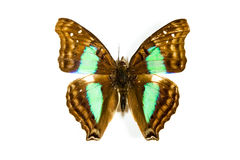 Butterfly Doxocopa cyane isolated Royalty Free Stock Photos