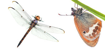 Butterfly and dragonfly close-up macro Stock Image