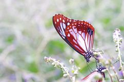 Butterfly drinking food Royalty Free Stock Photography