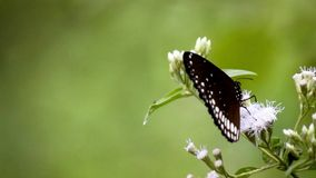 Butterfly drinking honey from wild flower stock video footage