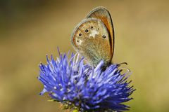 Butterfly drinking the nectar Royalty Free Stock Images