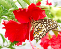 A butterfly drinking nectar Royalty Free Stock Photos