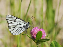 Butterfly is drinking nectar on a clover flower Royalty Free Stock Photo