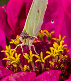 Butterfly drinking nectar from a flower Stock Photography