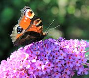 Butterfly drinking nectar Stock Image
