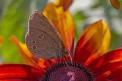 Butterfly Drinking Nectar From Orange Petals Royalty Free Stock Photo