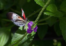 Butterfly Drinking Nectar. A butterfly on a plant drinking nectar Royalty Free Stock Photo