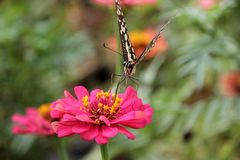 Butterfly drinking pollen Green background Royalty Free Stock Photos