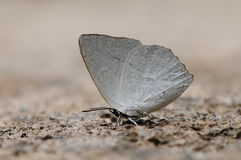 Butterfly is drinking water Stock Photography