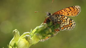 Butterfly drinking waterdrops at morning stock video footage