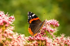 Butterfly breed Vanessa atalanta drinks nectar from a beautiful flower in a green field. Butterfly drinks nectar from a beautiful flower in a green field stock image