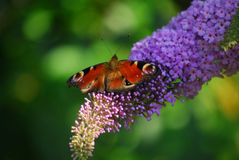 A butterfly drinks nectar from a flower. A butterfly sits on a flower in a garden drinking nectar Royalty Free Stock Photo