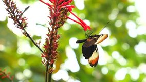 Butterfly drinks nectar from flower. Slow Motion 100 fps stock video