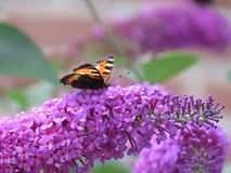 Butterfly drinks nectar from a purple flower. Orange butterfly drinks nectar from a Beautiful flower royalty free stock photography