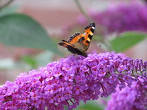 Butterfly drinks nectar from a purple flower. Orange butterfly drinks nectar from a Beautiful flower royalty free stock photos