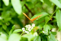 Butterfly drinks nectar from a white flower on a green background royalty free stock photos