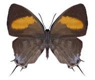 Butterfly Drupadia ravindra royalty free stock images