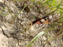 Butterfly and dry land. A butterfly in a dry place Royalty Free Stock Photos