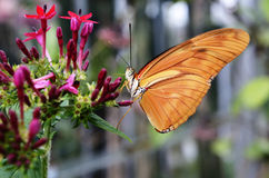 Butterfly Dryas Julia on a flower Stock Images