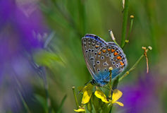 Butterfly - Eastern Tailed Blue. Butterfly Everes comyntas on yelow flower Stock Photo