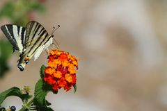 Butterfly - Eastern Tiger Royalty Free Stock Photo