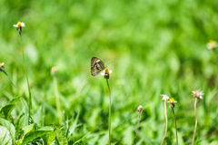 Butterfly eat nectar. Butterfly is eating nectar from yellow flower Stock Photography