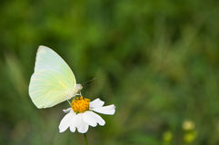 A butterfly eat nectar from flower Stock Images