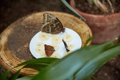 Butterfly eat from a plate of sliced banana. Beautiful butterfly eat from a plate of sliced banana stock photography