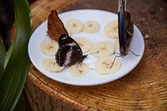 Butterfly eat from a plate of sliced banana. Beautiful butterfly eat from a plate of sliced banana stock photos