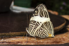 Butterfly eating a banana royalty free stock photography