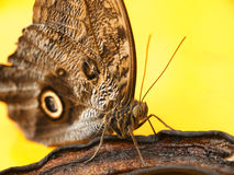 Butterfly eating banana Royalty Free Stock Photo