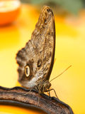 Butterfly eating banana Royalty Free Stock Photos