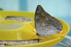Butterfly eating a banana Stock Photography