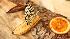 Butterfly eating banana Stock Images