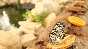 Butterfly eating a banana stock video footage