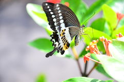 Butterfly eating  Royalty Free Stock Images