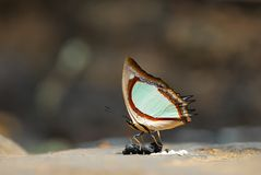 A butterfly eating Crouch. On a Rock Royalty Free Stock Image