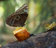 Butterfly eating fruit Royalty Free Stock Image