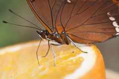 Butterfly is eating of fruit Royalty Free Stock Images