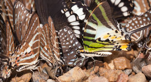Butterfly eating mineral Stock Images