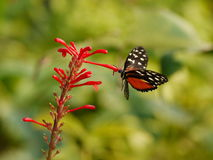 Butterfly eating nectar. Beautiful white spotted butterfly with red flowers Stock Photos
