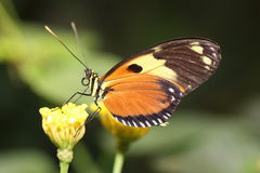 Butterfly eating nectar... Royalty Free Stock Photos