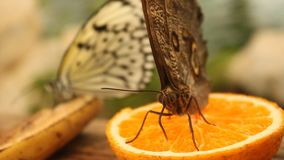Butterfly eating an orange slice. stock footage