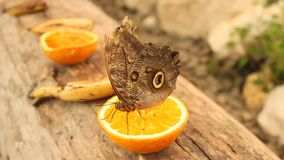 Butterfly eating an orange stock video