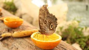 Butterfly on a half orange stock video